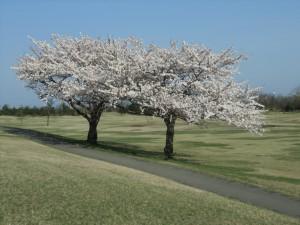 H284月桜 西コース3番